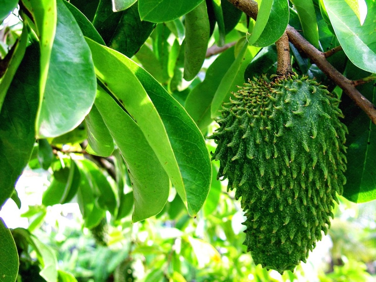 Prevent And Treat Cyst With Soursop Leaves